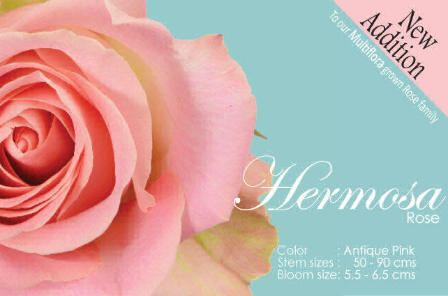 Hermosa – Rose – New Addition