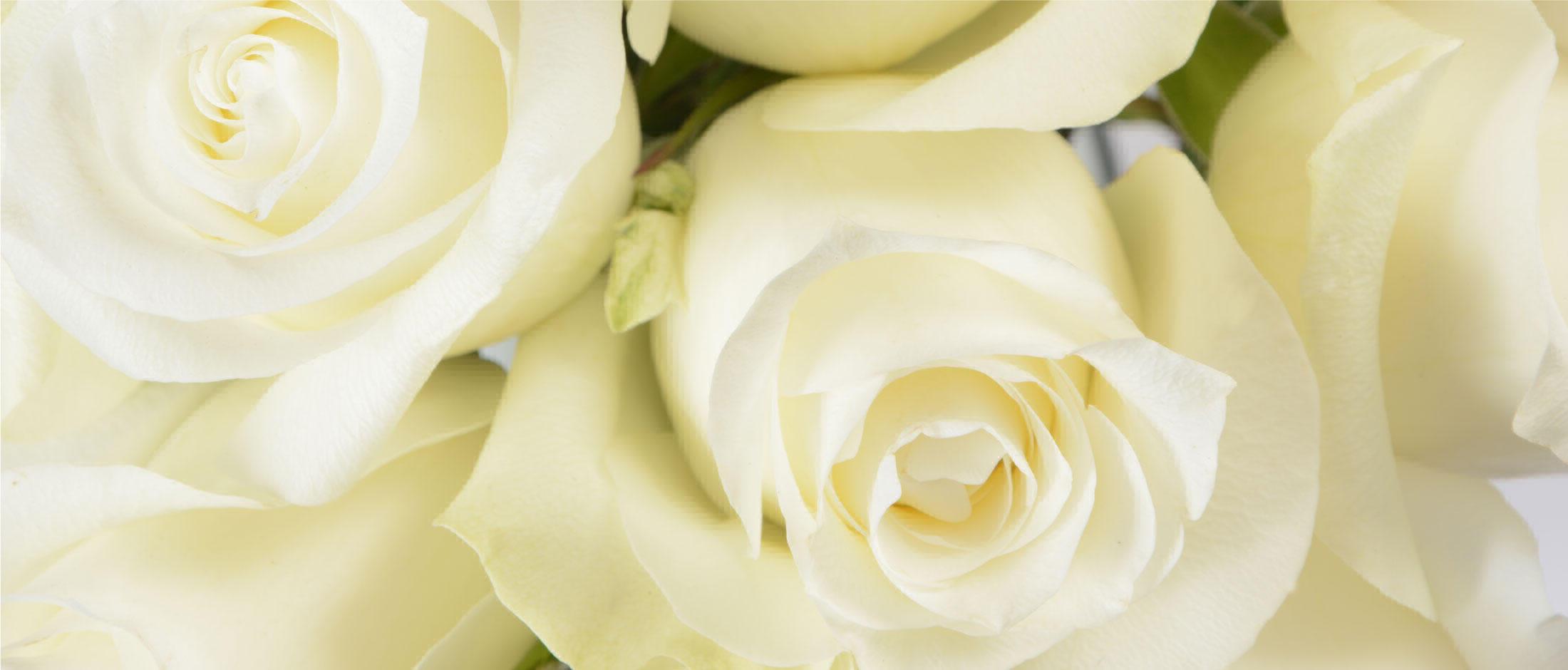 proud-rose-1