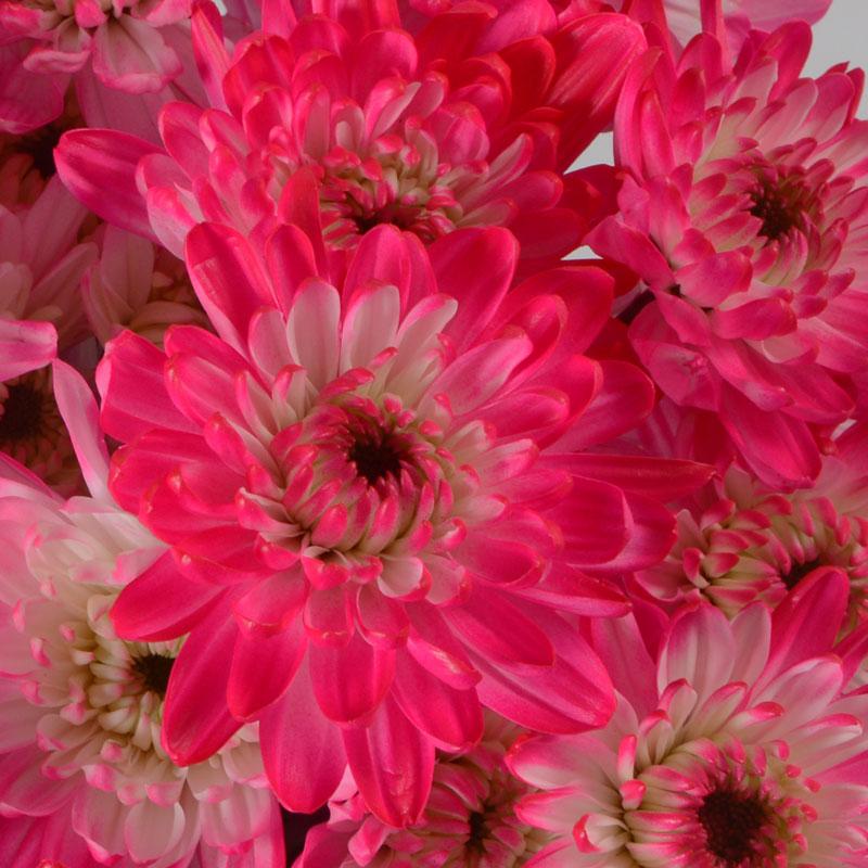 Raspberry pink cushion multiflora raspberry pink cushion mightylinksfo