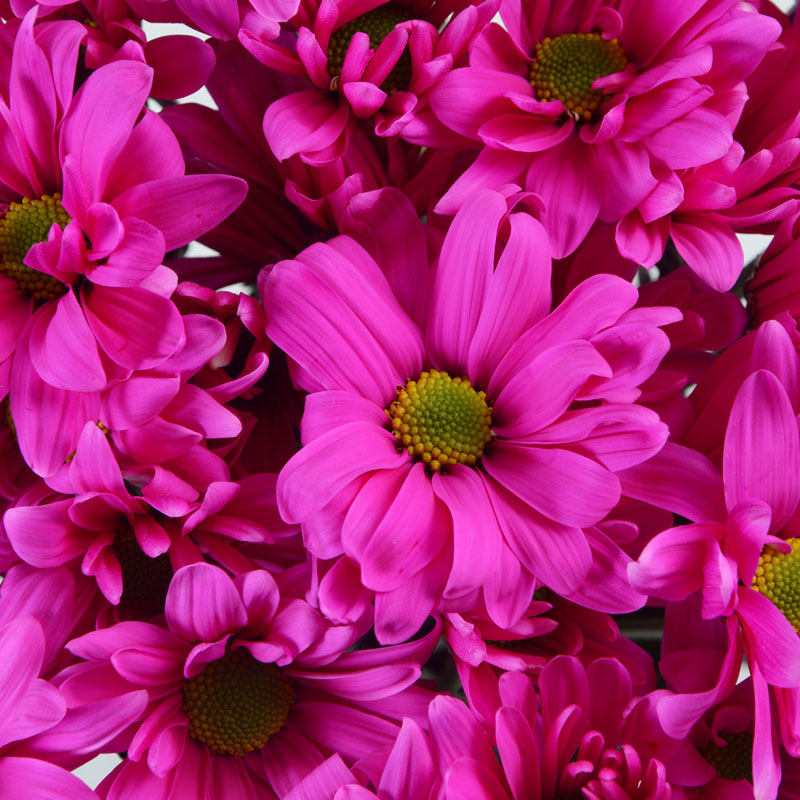 Shocking pink multiflora color pink mightylinksfo