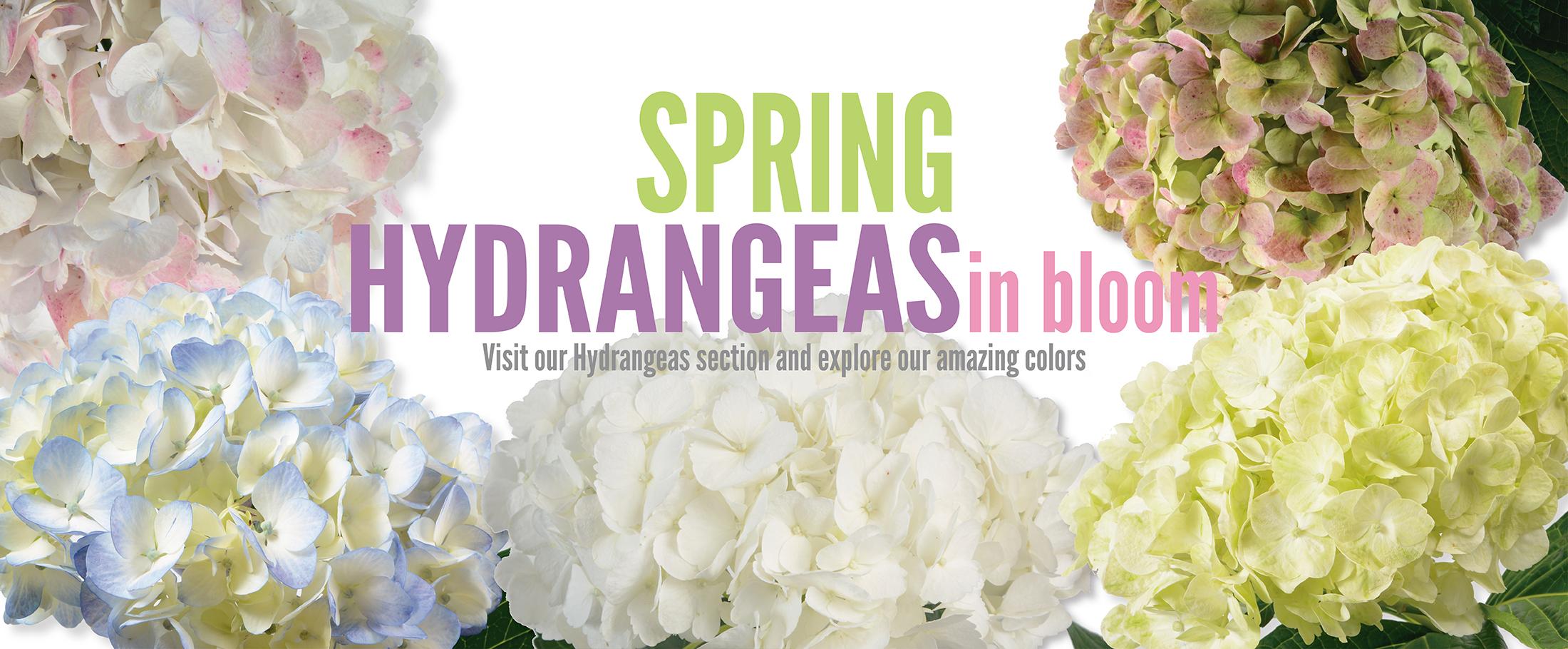 hydrangeas-27-de-Abril-v6-01
