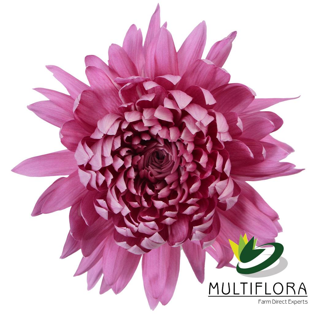 Picture of: Dark Carina Multiflora