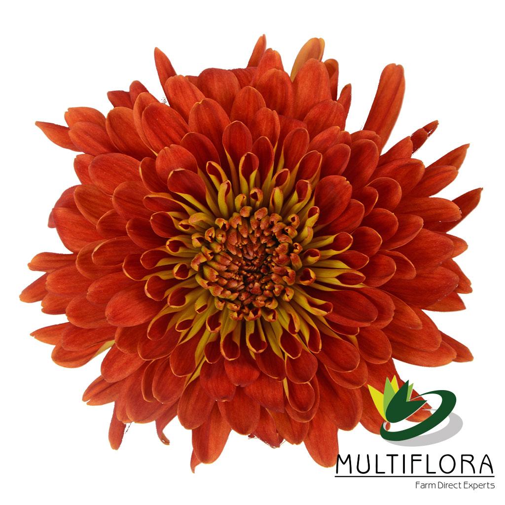Picture of: Four Ladies Multiflora