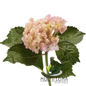 Mini Hydrangea