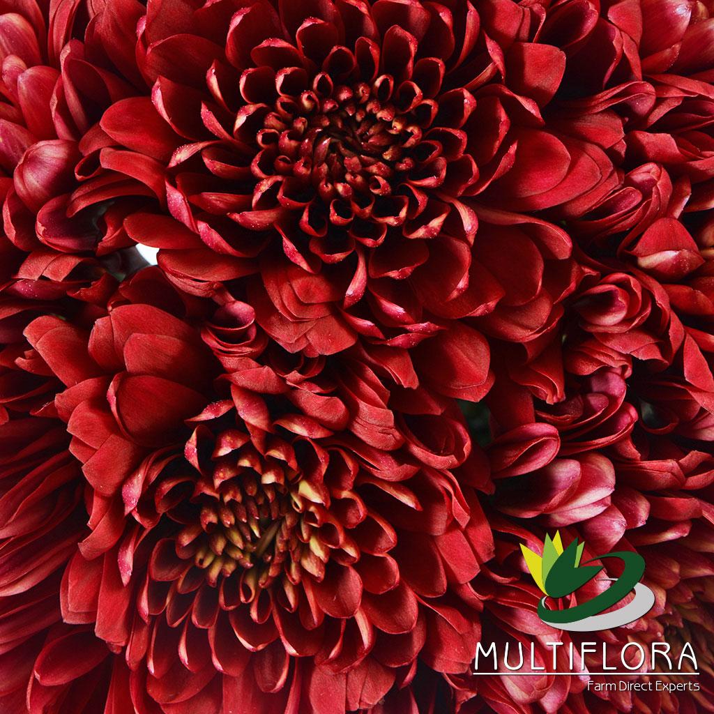 Picture of: Red Tornado Multiflora